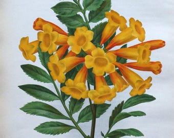 TECOMA SMITHI ORANGE Bells  Mexico Linden  Antique Botanical Vintage Flower Print 1896