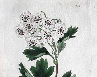 LATHRAEA SQUAMARIA Baxter Antique Engraved Botanical Wild Flower Print 1840
