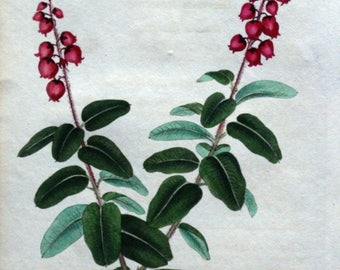 ANDROMEDA BUXIFOLIA Box Leaved Andromeda Curtis Hand Col Antique Botanical Flower Print 1826