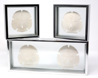 Triptych of Sand Dollars in Chrome Floating Frames