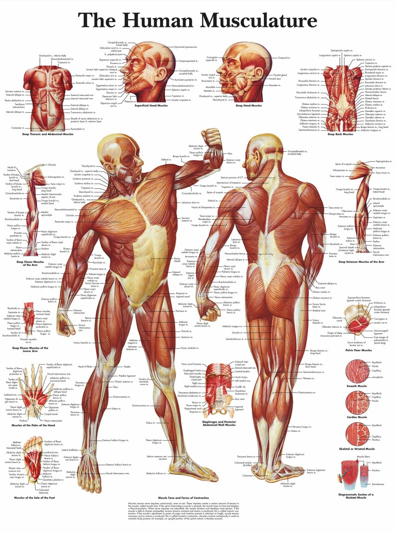 Medical Poster The Human Muscle Layout Text Book Picture Etsy