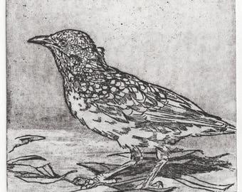 Western Bowerbird II (Etching)