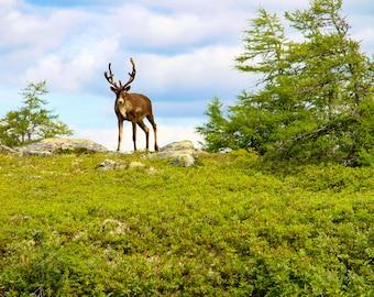 Newfoundland Woodland Caribou Wildlife Fine Art Photography Home Decor Wilderness Nature Animal Bathroom Office Kitchen Decor
