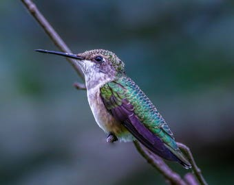 Hummingbird in Cades Cove