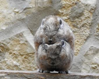 Poster Marmot