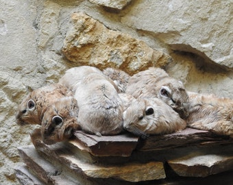 Poster Marmot in Group