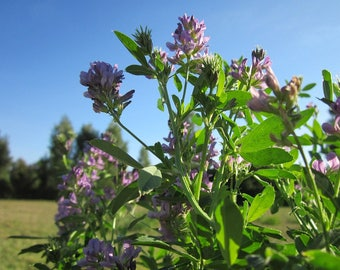 Alfalfa Leaf Herb