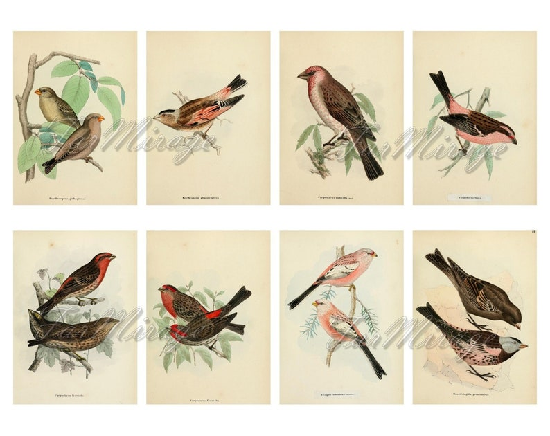 CROSSBILLS Set #1 digital collage sheet 40 ATC cards Printable Instant Download Image Digital Cards Tags vintage loxias loxia finch