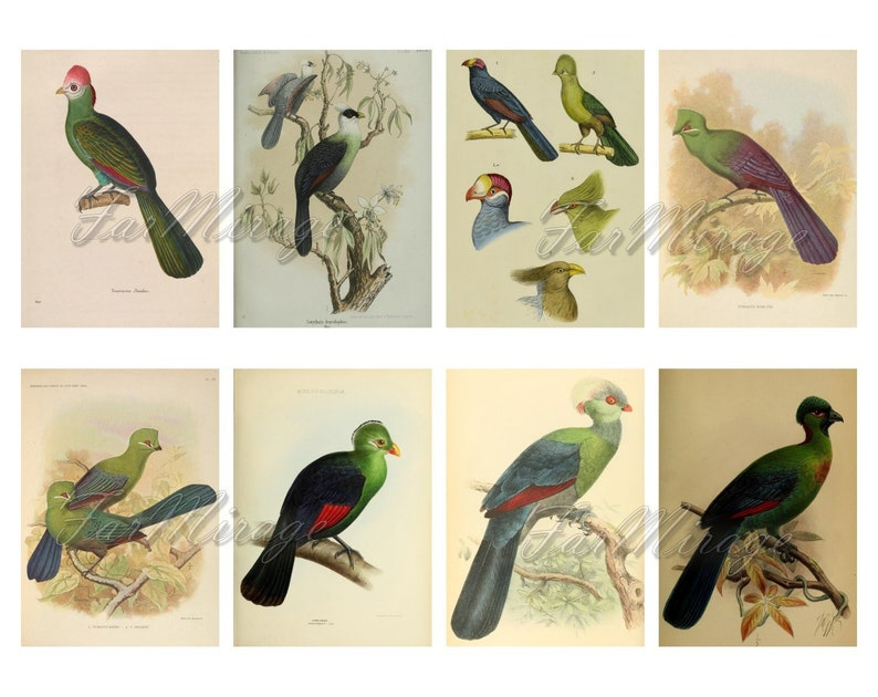 TURACOS BANANA-EATERS Set #1 digital collage sheet 40 atc cards Printable Instant Download Image Digital Cards Tags vintage tropical