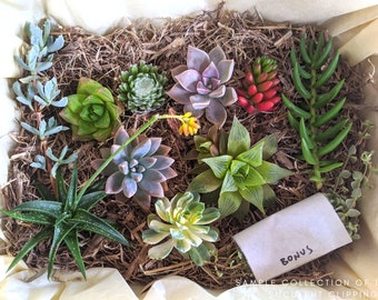 Succulent Plants, 10 succulent clippings, Succulent Gift Box, Xmas gift
