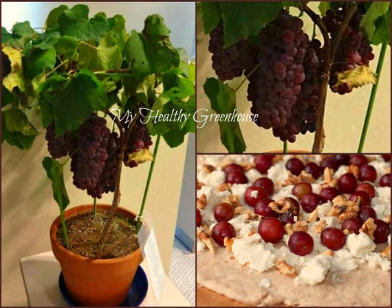 Seeds Bonsai Red Grape Chasselas Rose Royal Vitis Etsy