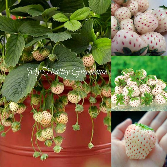 """NEW and RARE Pineapple flavored strawberry """"White Alpine"""" Pineberry! SEEDS"""