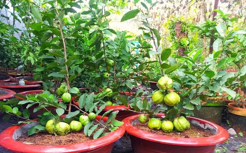 "SEEDS – Huge Guava, (Psidium Guajava) Rare Dwarf ""Kilo Guava"" or ""Giant  Guava"" 1000 grams! Extremely Sweet White Flesh"