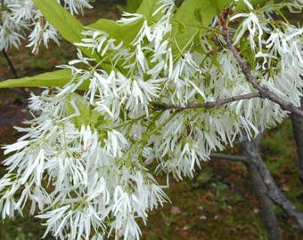 White Fringe Tree, Chionanthus virginicus , 6-12 inches tall