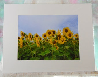Matted sunflower field photo