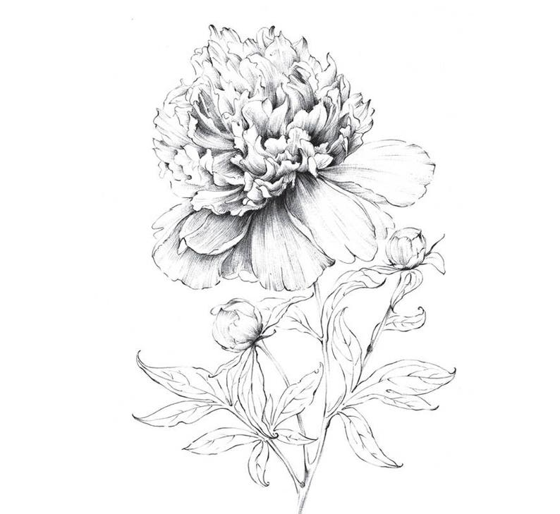 Fleur De Pivoine Art Sketch Indiana Dessin Au Trait Grand Etsy