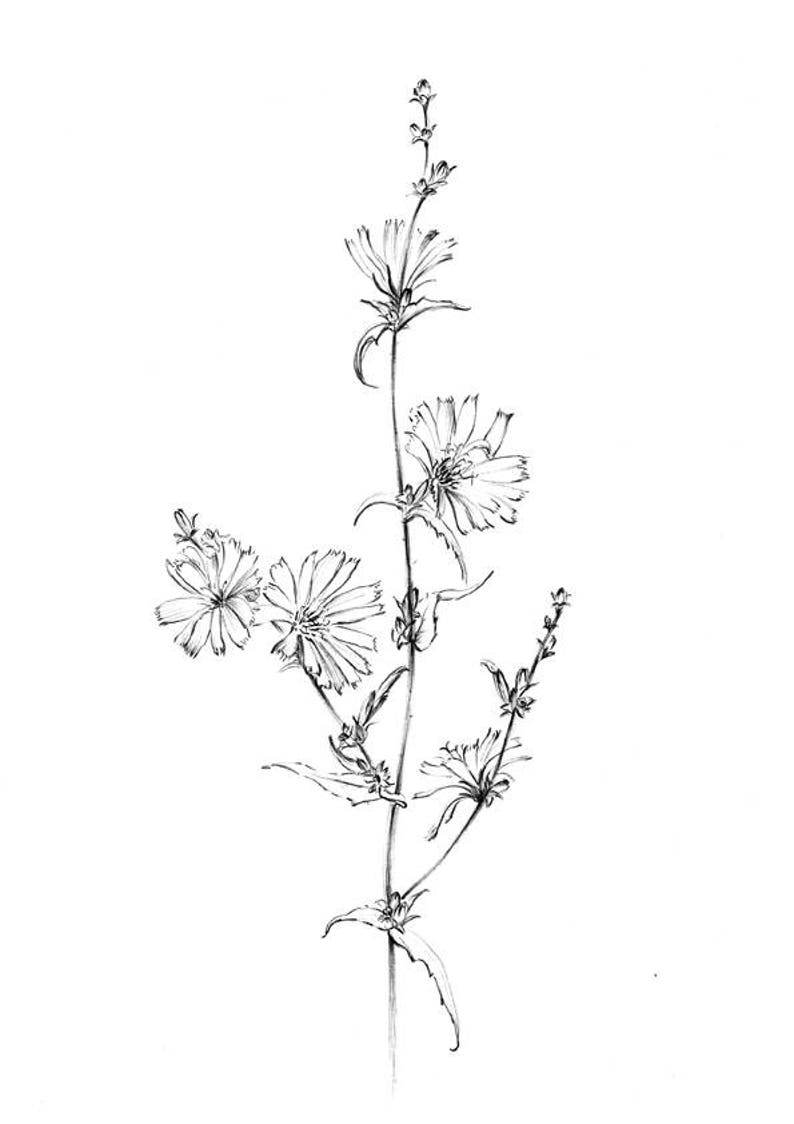Chicory Sketch Blue Sailors Wild Flower Artwork Line Etsy