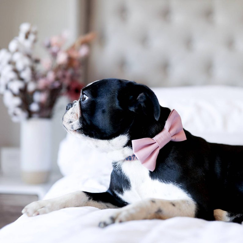 Dog wearing a pink bow tie