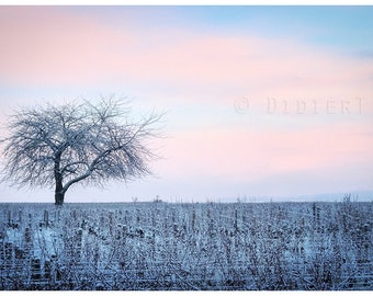 Color photo print: tree in the vineyards in the snow