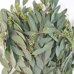 Fresh Seeded Eucalyptus Bunches - Bulk Greenery  (Free Overnight Shipping)