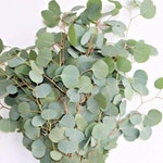 Eucalyptus Silver Dollar: Fresh - Dried - Preserved   Weddings, DIY, Garlands, Home Office Decor, Gifts - Wholesale Greenery   Free Shipping