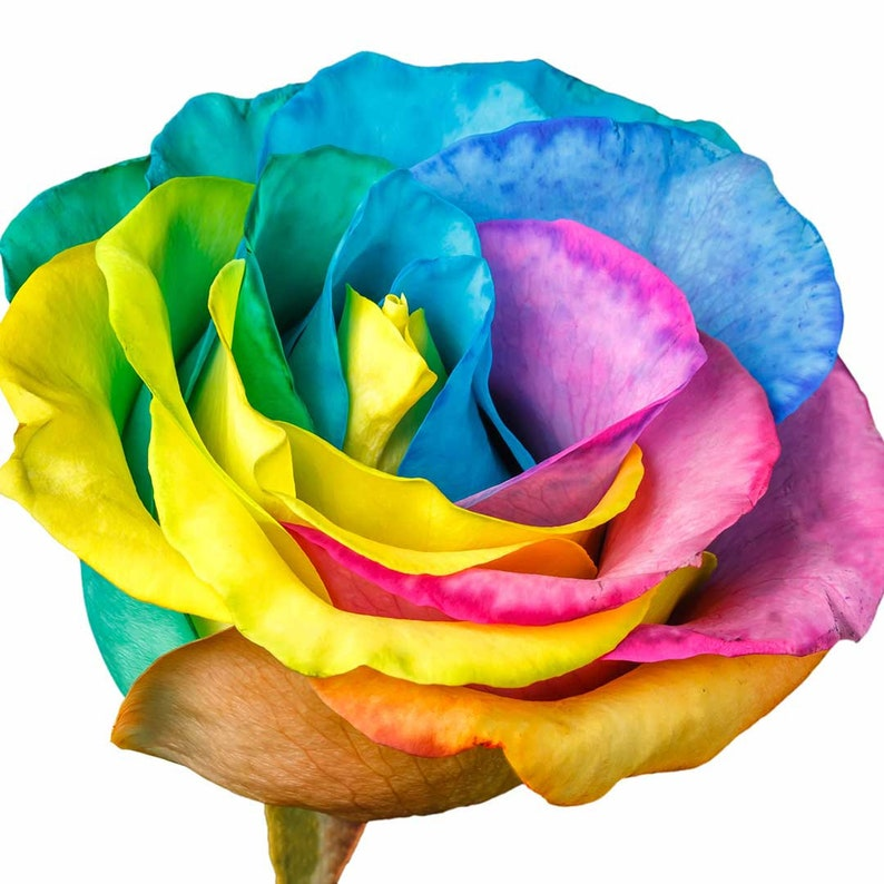 Fresh Rainbow Roses  Birthday Gift Holiday School image 0