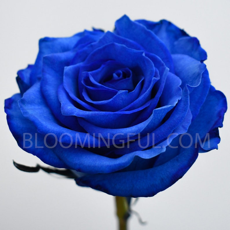 Fresh Rainbow Roses: Blue  Birthday Gift Holiday School image 0