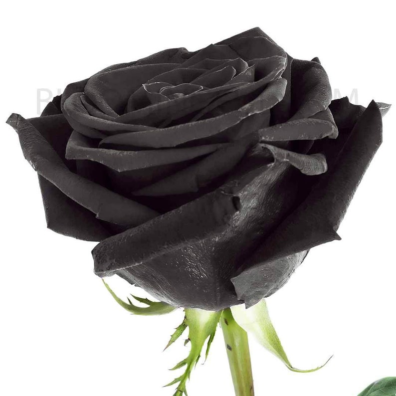 Fresh Rainbow Roses: Black  Birthday Gift Holiday School image 0