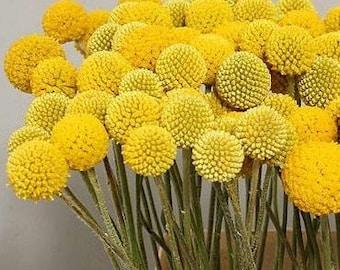 Fresh Billy Balls / Craspedia - Bulk Flower Fillers  (Free Shipping)
