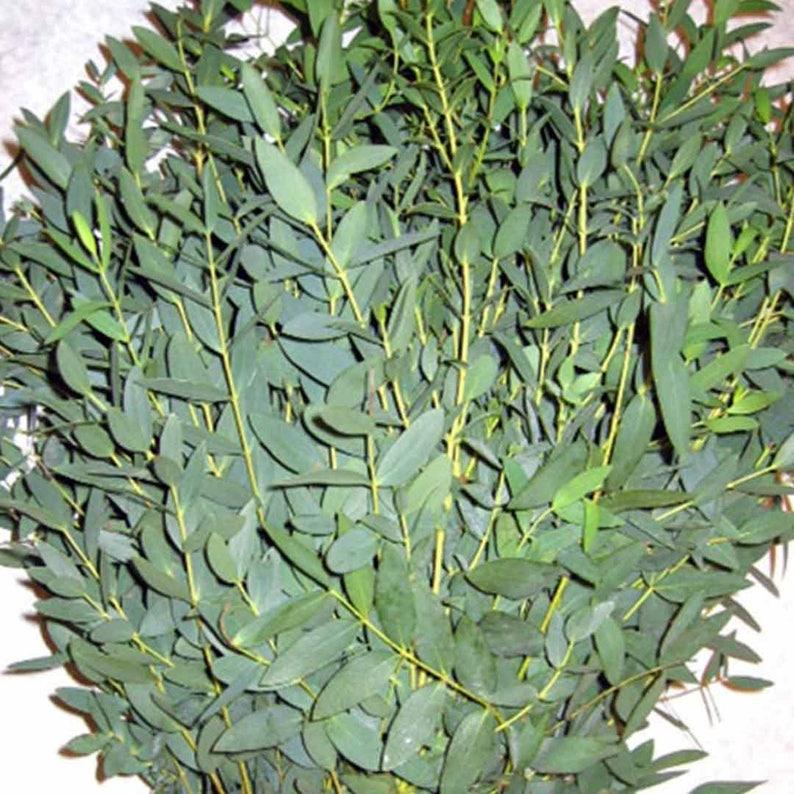 Fresh Parvifolia Eucalyptus Bunches  Bulk Greenery  Free image 0