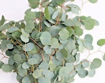 Fresh Eucalyptus Silver Dollar Bunches - Bulk Greenery  (Free Expedited Shipping)