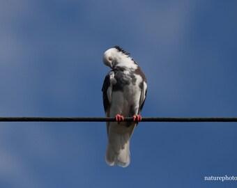 Sleepy Bird on Telephone Line.