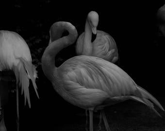 Photo of Flamingo Pink elegant black-and-white animals