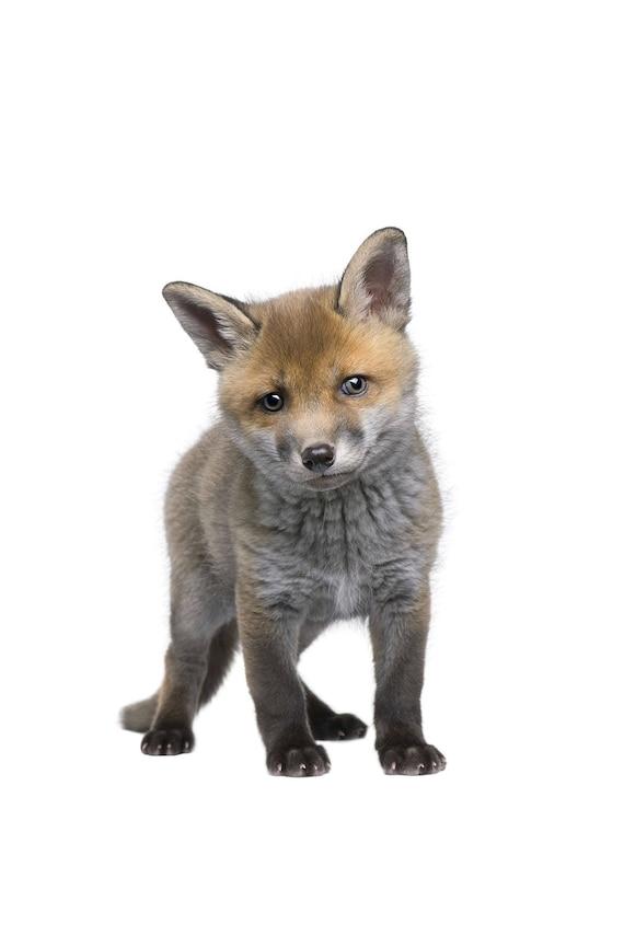 Funny Baby Fox Print Baby Animal Print Funny Baby Animals Etsy