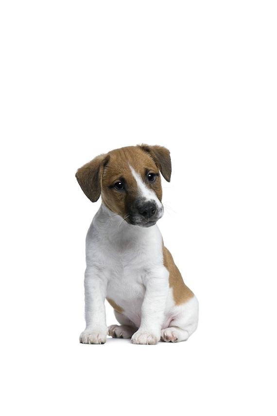 Welpen Print Fur Kinderzimmer Jack Russell Terrier Welpen Etsy
