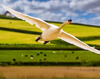 Flying Swan Photo - DIGITAL DOWNLOAD - Photography,swan,bird,animal,flying