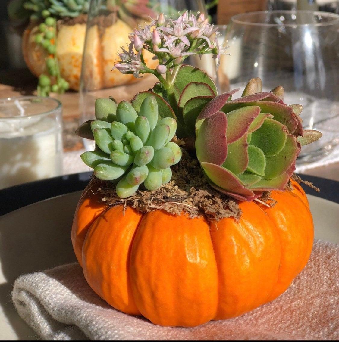 Mini Real Pumpkin Succulents Succulent Pumpkins Fall Decor Etsy