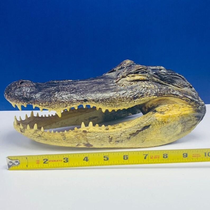 ALLIGATOR CROCODILE TAXIDERMY head reptile mount man cave decor statue bust vintage vtg mcm sharp teeth