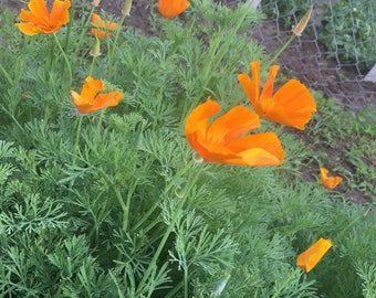 California Poppy tincture (Eschacholzia californica)