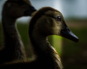 animal photography, duck, bird photography, nature photography, fine art photography, original photography, signed photo