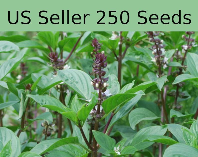 Basilic thaï 250 graines Ocimum basilicum Non-OGM   Etsy