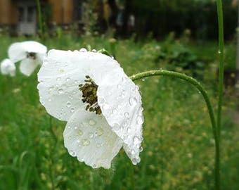 Poppy hen chickens seeds papaver somniferum hen and etsy white poppy flower seeds papaver somniferum 200 seeds mightylinksfo