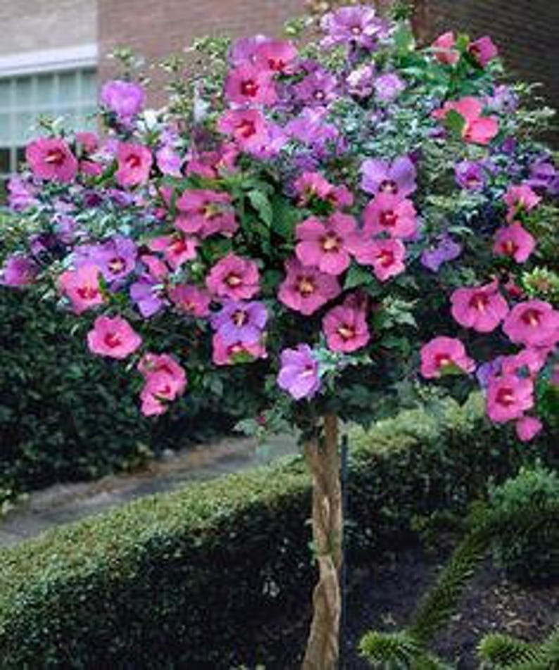 Pink Hibiscus Giant Tree 100 Seeds Rare Rose Of Sharon Etsy