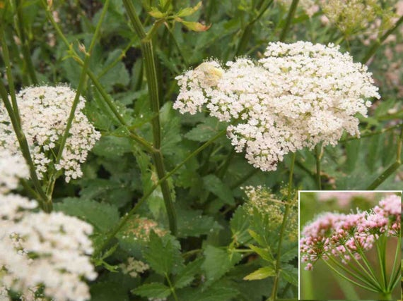 Pimpinella major /'Rosea/' 100 seeds BURNET SAXIFRAGE