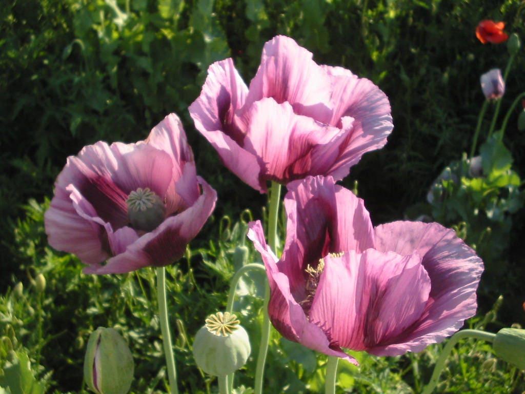 Pink Poppy Flower Seeds Papaver Somniferum 200 Seeds Etsy