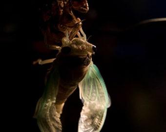 Cicada - Postcards Set of 5
