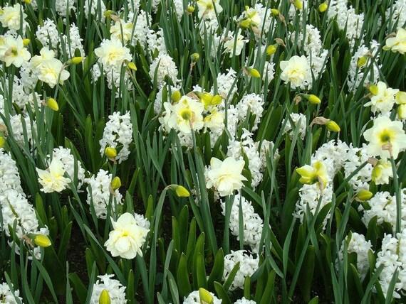 Daffodil Photography,Spring Flower Photo Wallpaper,Digital Photo File,Printable