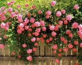 PINK CLIMBING ROSE Rosa Bush Hardy Zones 3-9 Scarlet Double Flowers Shrub 5 Seeds