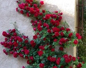 CLIMBING RED ROSE Rosa Bush Hardy Zones 3-9, Scarlet Double Flowers Shrub 5 Rare Seeds