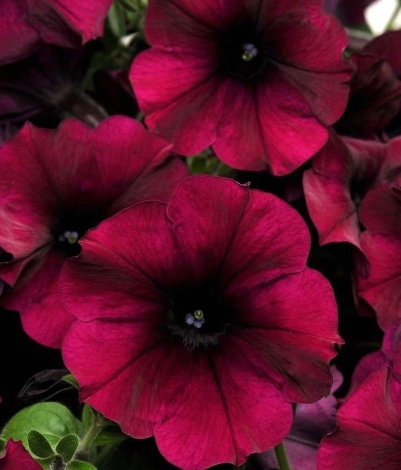 No Petunias Were Harmed In >> Velour Petunia Burgundy Wave Trailing Cascading Hanging Pots Etsy
